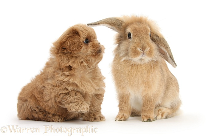 Peekapoo pup and Sandy Lop rabbit, white background