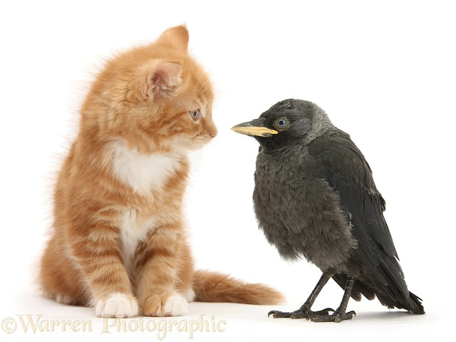 Ginger kitten, Butch, 10 weeks old, and baby Jackdaw (Corvus monedula), white background
