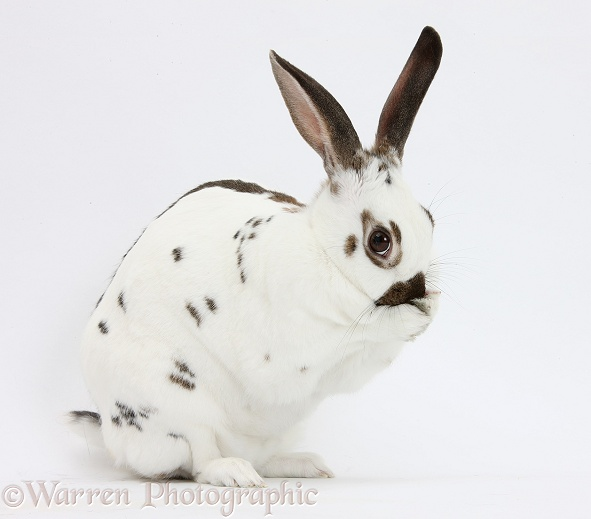 Brown-and-white rabbit grooming, white background