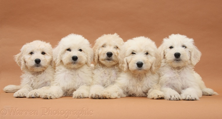 Five Labradoodle pups, 9 weeks old