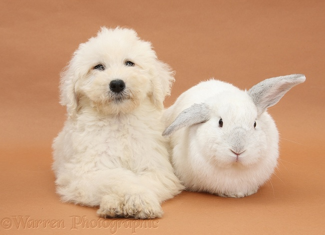 Labradoodle pup, 9 weeks old, and white rabbit