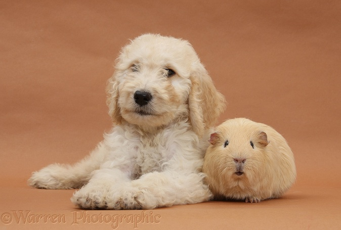 Labradoodle pup, 9 weeks old, and yellow Guinea pig