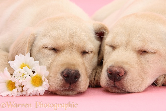 Yellow Labrador Retriever bitch pup, 10 weeks old, asleep with a daisy flowers