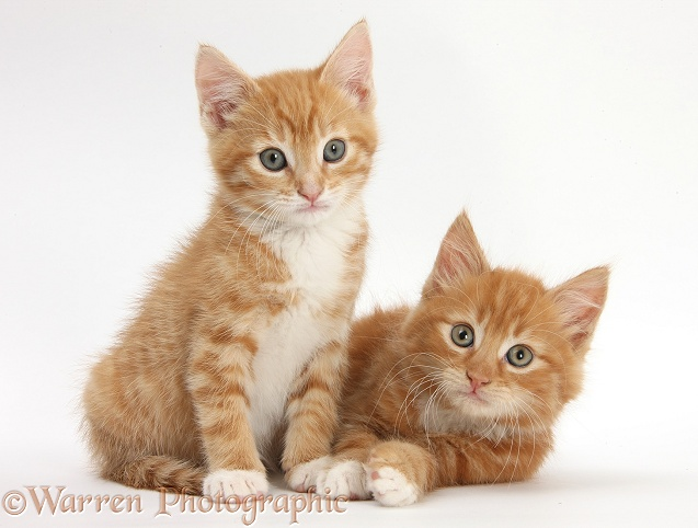 Two ginger kittens lounging together