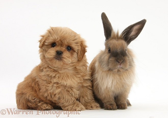 Peekapoo pup and Lionhead-cross rabbit, white background