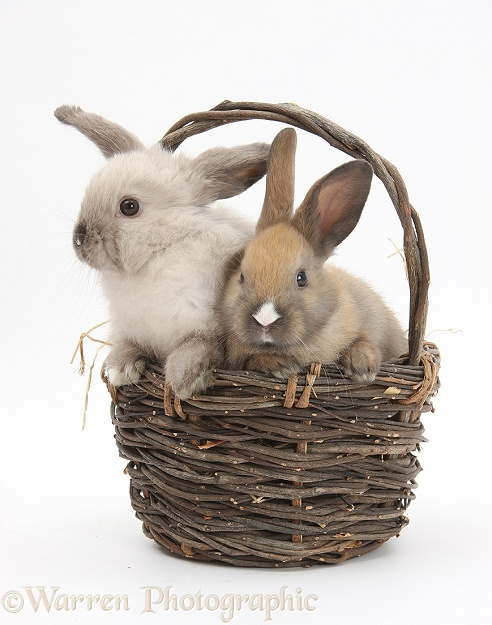 Baby rabbits in a wicker basket, white background