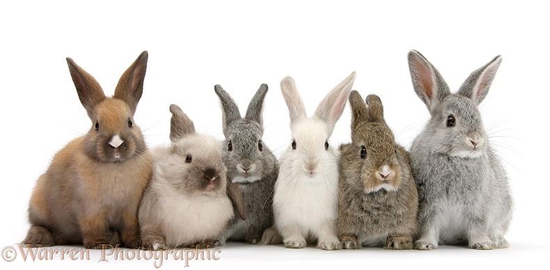 six baby rabbits photo wp31859 rabbits in australia rabbits podcast