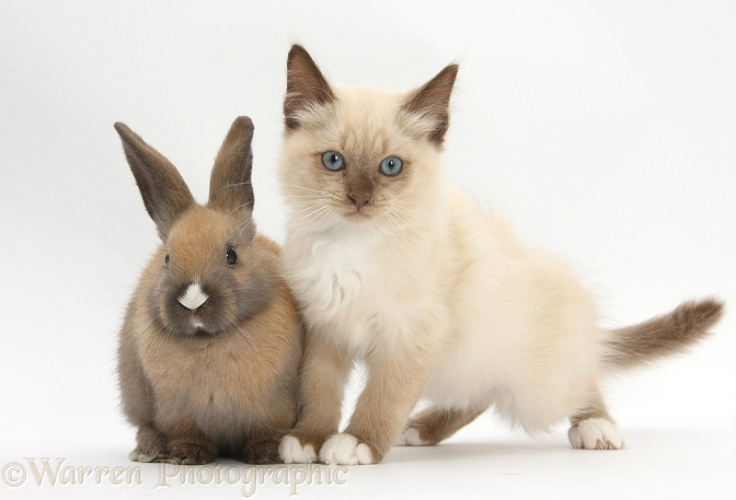 Ragdoll-cross kitten and young rabbit, white background