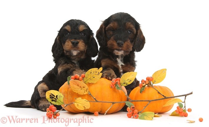 Cockapoo pups with pumpkins and cotoneaster berries, white background