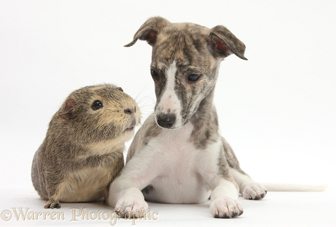 Brindle-and-white Whippet pup, Cassie, 9 weeks old, with Guinea pig, white background