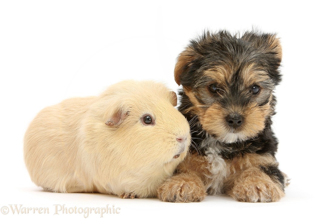 Yorkshire Terrier pup, Evie, 8 weeks old, with Guinea pig, white background