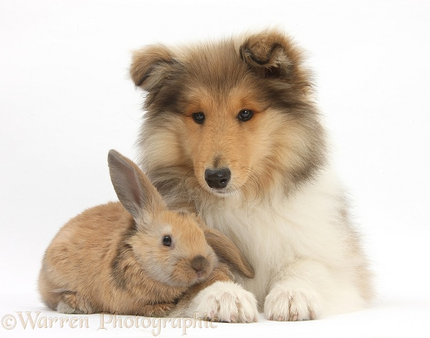 Rough Collie pup, Laddie, 14 weeks old, with young rabbit, white background