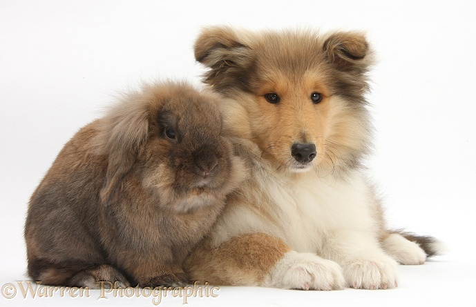 Rough Collie pup, Laddie, 14 weeks old, and Lionhead-cross rabbit, white background