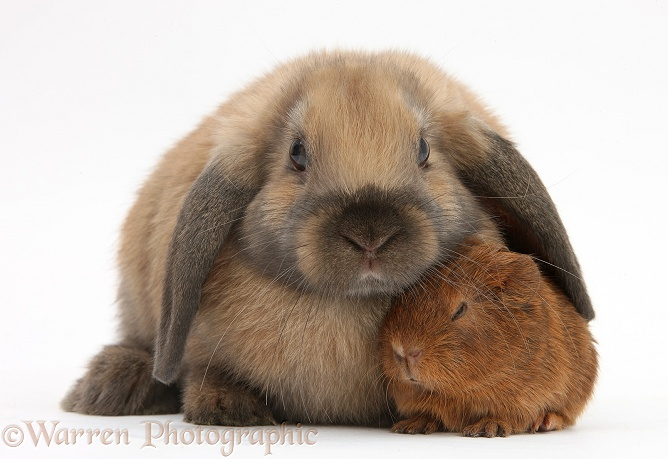 Baby Guinea pig and rabbit, white background