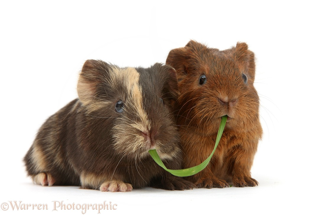 Two baby Guinea pigs sharing a piece of grass, white background