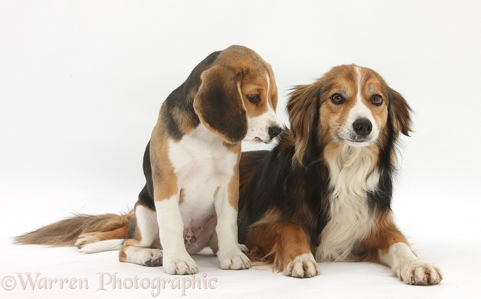 Beagle pup, Bruce, and Border Collie, Otto, white background