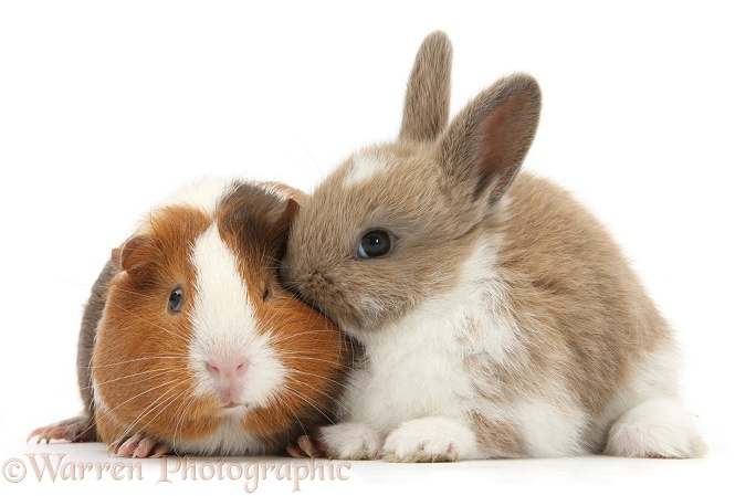 Baby rabbit and Guinea pig, Amelia, white background