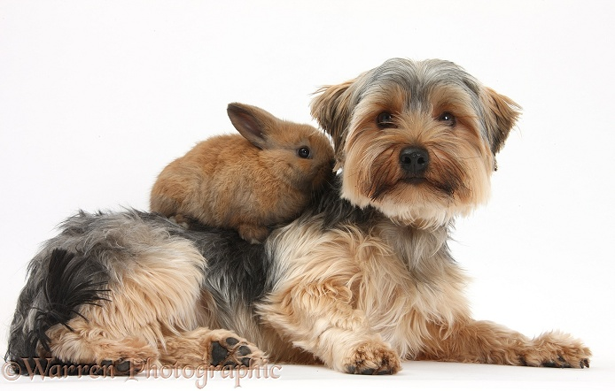 Yorkshire Terrier dog, Dillon, 16 months old, and baby rabbit, white background
