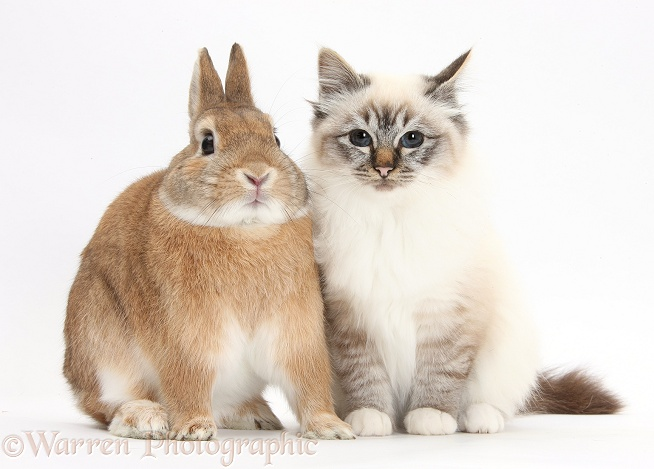 Tabby-point Birman cat and Sandy Netherland-cross rabbit, Peter, white background