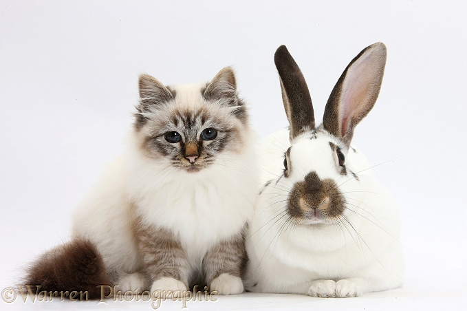 Tabby-point Birman cat and brown-and-white rabbit, white background