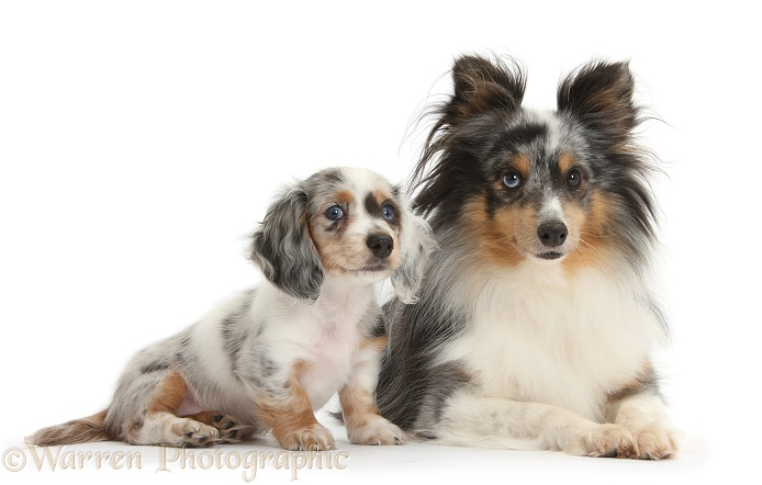 Shetland Sheepdog, Sapphire, and matching Dachshund pup, white background