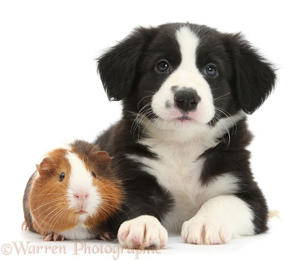 Black-and-white Border Collie pup and tricolour Guinea pig, Amelia, white background