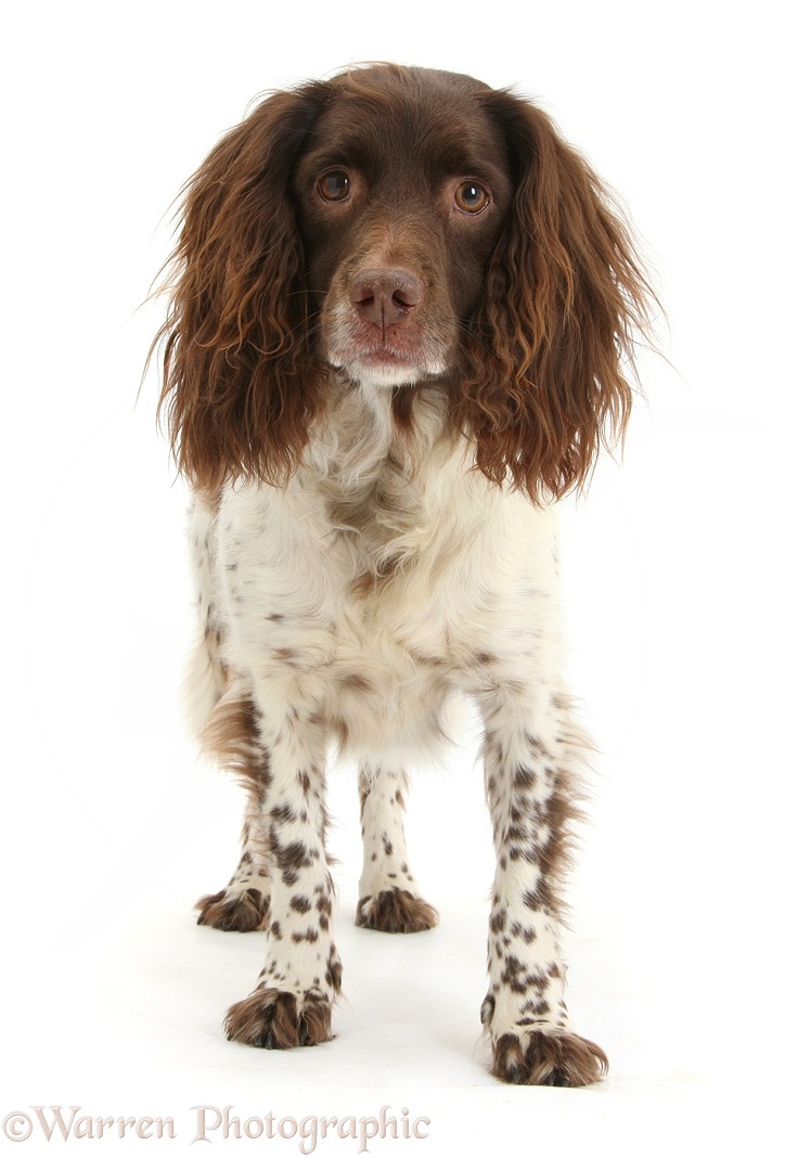 Springer Spaniel bitch, Polly, standing, white background
