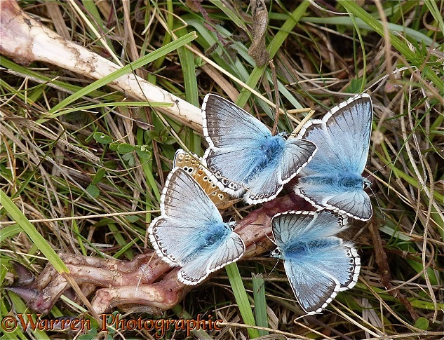 Chalkhill Blue Butterfly (Lysandra coridon) males feeding on a rabbit skeleton