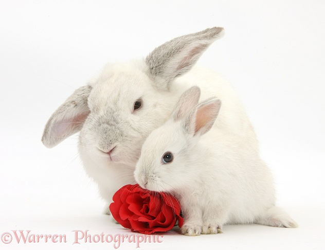 White Lop rabbits and rose, white background