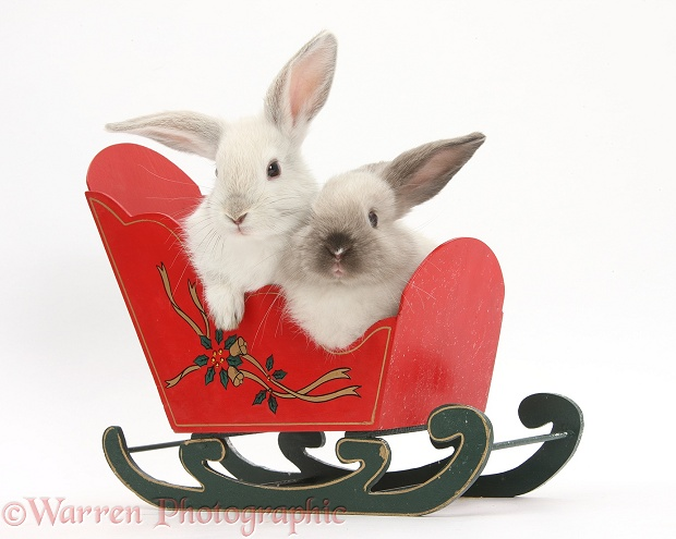 Two baby rabbits in a toy sledge, white background