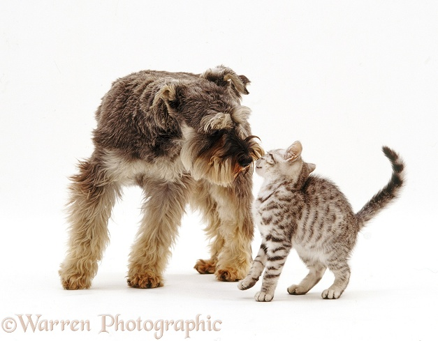 Miniature Schnauzer, Griff, 18 months old, nose to nose with tabby kitten, white background