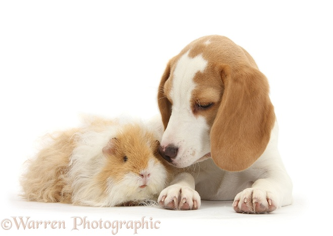 Orange-and-white Beagle pup and alpaca Guinea pig, white background