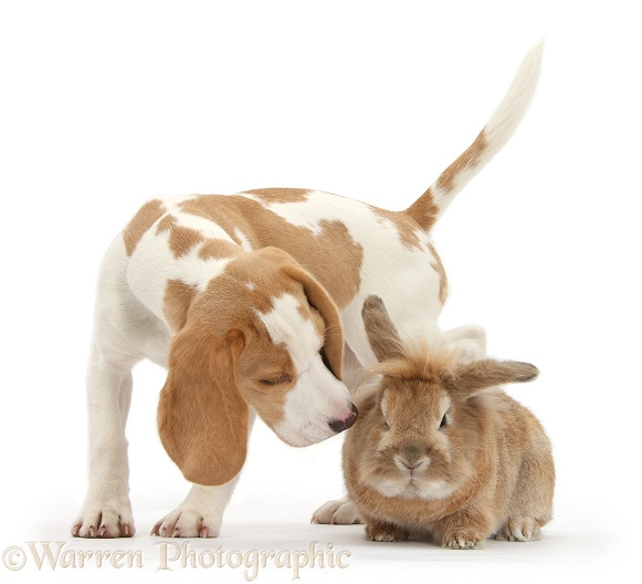 Orange-and-white Beagle pup sniffing a rabbit, white background
