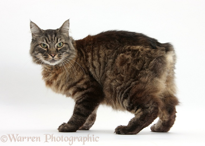 Elderly Tabby Manx x Turkish Van cat, Jack, 13 years old, white background