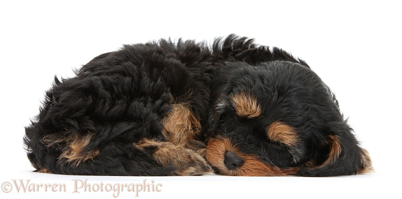 Sleeping black-and-tan Cavapoo pup, white background