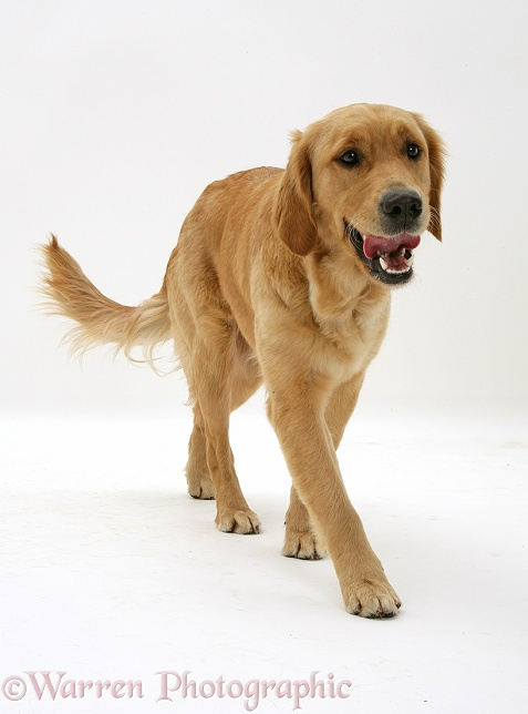 Golden Retriever, Jasmine, trotting forward, white background