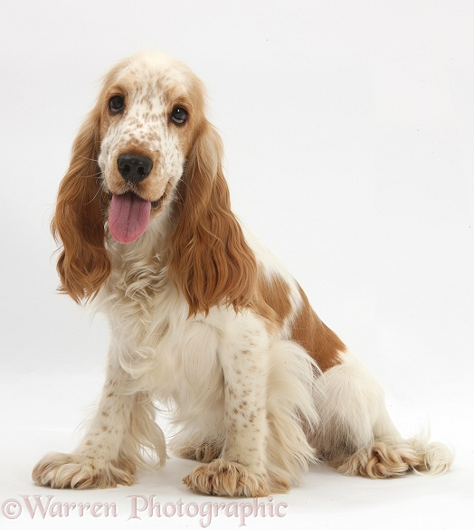 Orange Cocker Spaniel, Arthur, 1 year old, white background