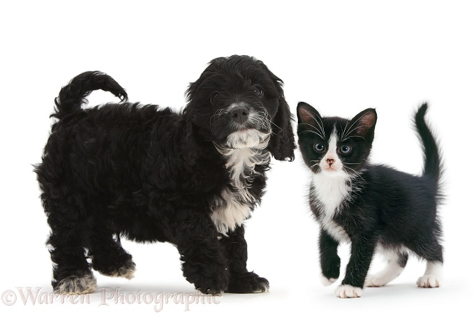 Black-and-white tuxedo Cockapoo pup, 8 weeks old, with black-and-white tuxedo kitten, white background