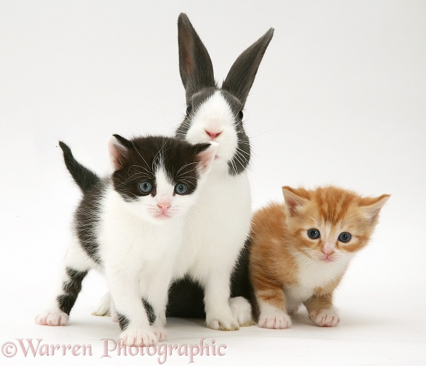 Ginger and black-and-white Kittens with blue Dutch buck rabbit, white background