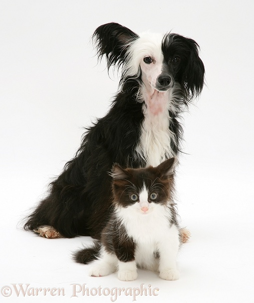 Chinese crested dog and black-and-white kitten, white background