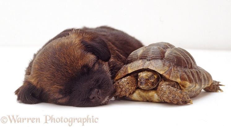 Sleepy Border Terrier pup, 4 weeks old, and tortoise, white background
