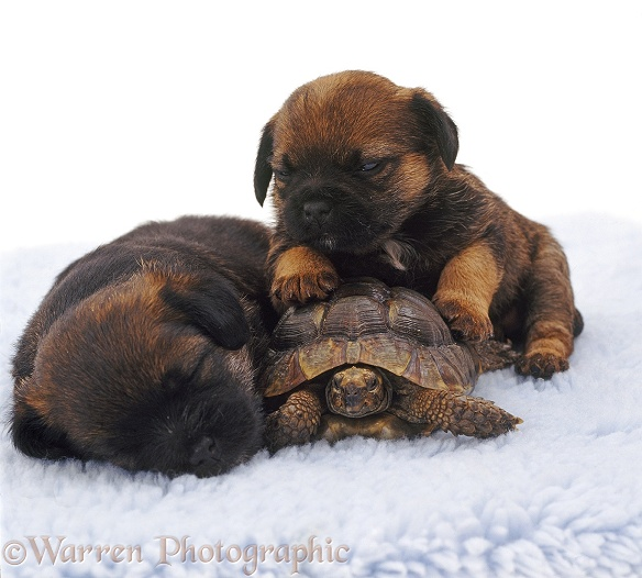 Sleepy Border Terrier pups, 4 weeks old, and tortoise, white background