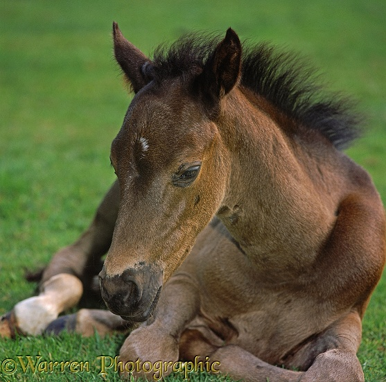 Portrait of British Show Pony colt foal, Sambo, dozing
