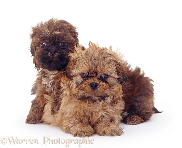 Two Shih-tzu pups, 7 weeks old, white background