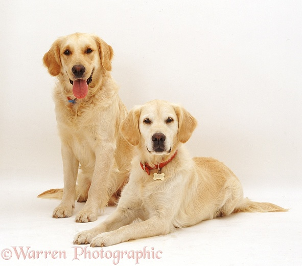 Golden Retriever pair, Barney and Millie, white background