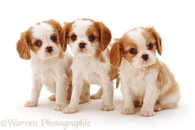 King Charles Cav Dogs For Sale