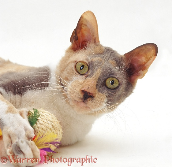 Portrait of blue-cream Cornish Rex female cat, Faberge, lying grasping toy, white background