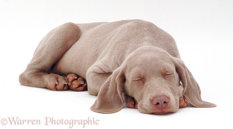 Weimaraner pup, 9 weeks old, asleep, chin on floor, white background