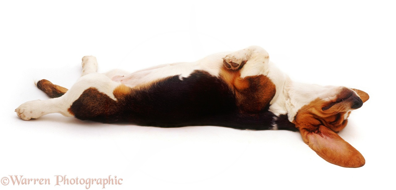 Basset Hound pup asleep on her back, white background