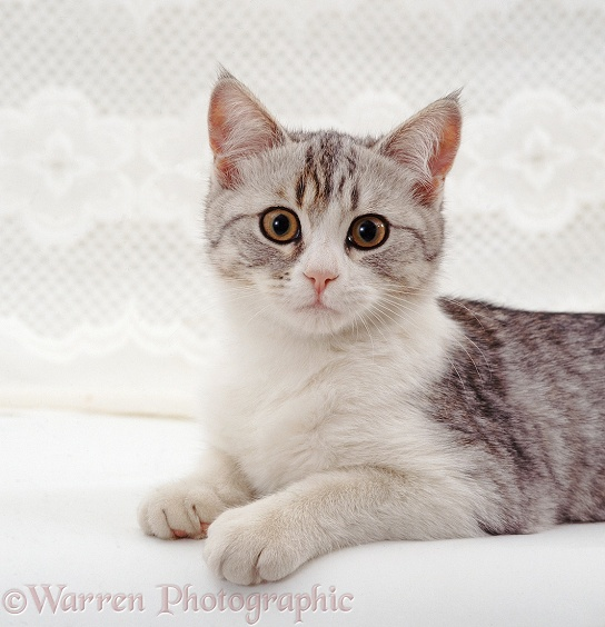 Portrait of silver-and-white cat, Petal, white background